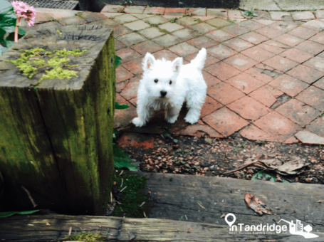 Photo of a Westie puppy, for dog Microchip law feature on InTandridge