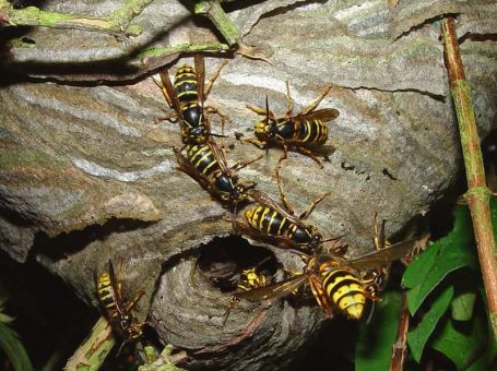Wasptec – Wasp Nest Removal Tandridge
