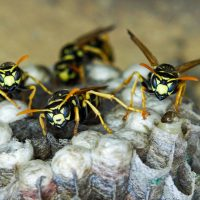 Wasp Nest Removal in Purley, Croydon, Sanderstead, Warlingham - by Best Wishes Pest Control